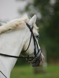 Grey Horse Head Shot Royalty Free Stock Images