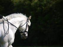 Grey Horse Head Shot Fotografia Stock Libera da Diritti