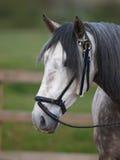 Grey Horse Head Shot Immagine Stock Libera da Diritti