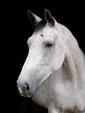 Grey Horse Head Shot Stockbilder