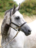 Grey Horse Head Shot Photographie stock libre de droits