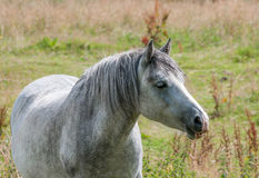Grey horse. Head shot of dapple grey horse Stock Image