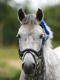 Grey Horse Head Shot with Rosette Royalty Free Stock Photos