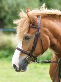 Grey Horse Head Shot with Rosette Stock Photography