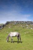 Grey Horse i fält på Inishmore, Aran Islands Royaltyfria Foton