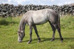 Grey Horse i fält på Inishmore, Aran Islands Royaltyfri Bild