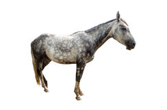Grey horse isolated. Portrait of a grey horse isolated on white Stock Images