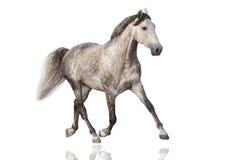 Grey horse isolated Royalty Free Stock Photos