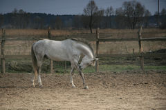 A grey horse with an itch. Outdoors on farm Stock Images