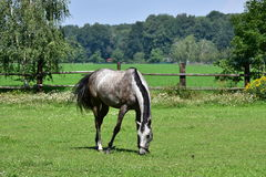 Grey Horse. Landscape near town Litovel Royalty Free Stock Images