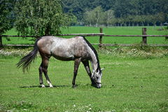 Grey Horse. Landscape near town Litovel Stock Photo