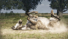 Grey Horse lies on his back , rolling and kicking at pasture background. Happy horses lifestyle royalty free stock photos