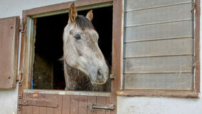 Grey horse  looking out over stable door Royalty Free Stock Photos
