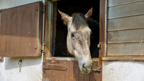 Grey horse  looking out over stable door Stock Images