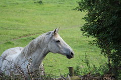 Grey horse Stock Photography