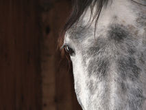 Grey Horse Looking at You. Grey horse on dark background looking straight ahead royalty free stock photos