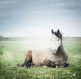 Grey horse lying and resting on the green grass Royalty Free Stock Photo