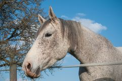 Grey horse in a meadow on blue sky background Stock Photography