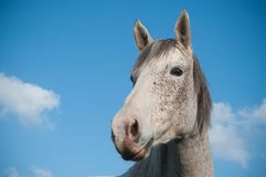 Grey horse in a meadow on blue sky background Royalty Free Stock Photography