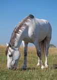 A grey horse on the meadow Stock Images