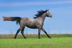 Grey horse in motion Royalty Free Stock Photo
