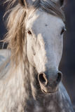 Grey horse in motion. Grey horse close up portrait in motion with long mane Stock Photo