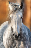 Grey horse in motion. Grey horse close up portrait in motion with long mane Royalty Free Stock Photos