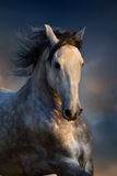 Grey horse in motion. Portarait of grey horse with long mane in motion  against beautiful sunset clouds Stock Photography