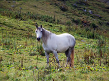 Grey Horse Royalty Free Stock Image
