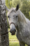 The grey horse near the tree Royalty Free Stock Image