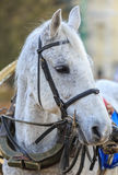 Grey horse in old harness waits rider. Stock Image