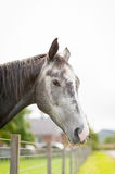 Grey Horse in a Paddock Royalty Free Stock Photo
