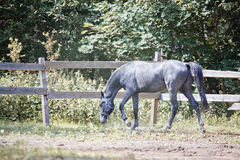 Grey horse in paddock Stock Photography