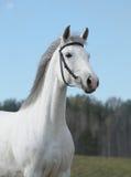 Grey horse, portrait stock photos