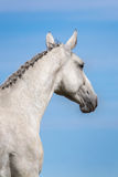 Grey horse portrait Stock Photos