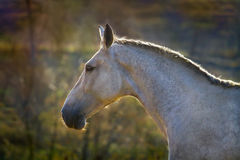 Grey horse portrait Stock Image