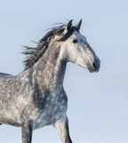 Grey horse - portrait on blue background. Dapple-grey horse - portrait on blue background Stock Image