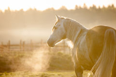 Grey horse portrait in foggy cold sunrise with the steam from th Stock Photography