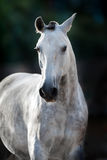 Grey horse portrait Royalty Free Stock Photo