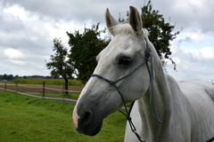 Grey horse Royalty Free Stock Images