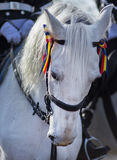 Grey horse portrait. White horse with tricolor ribbon on his head. Stock Images