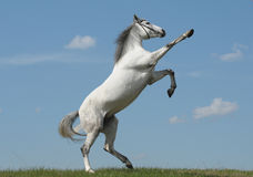 Grey horse rears Stock Images