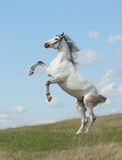 Grey horse rears Royalty Free Stock Image