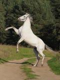 Grey horse rears Stock Photos