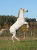 Grey horse rears Stock Photography