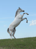 Grey horse rears in the meadow Royalty Free Stock Photos