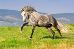 Grey horse run. Beautiful grey andalusian horse with long mane run gallop against mountain view Stock Image
