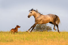 Grey horse run Royalty Free Stock Photo