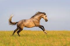 Grey horse run Stock Photo