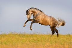 Grey horse run Royalty Free Stock Image